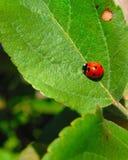 在绿色叶子的红色瓢虫 库存照片