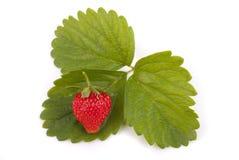 在绿色叶子的红色草莓 库存照片