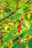在绿色叶子的红色莓果 免版税库存照片