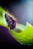 在绿色叶子的羊毛制毛虫吃 库存图片