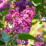 在绿色叶子的美丽的桃红色,紫色和紫罗兰色淡紫色花 免版税库存图片