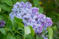 在绿色叶子的美丽的桃红色,紫色和紫罗兰色淡紫色花 免版税库存照片