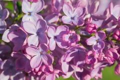 在绿色叶子的美丽的桃红色,紫色和紫罗兰色淡紫色花 免版税图库摄影