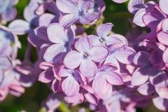 在绿色叶子的美丽的桃红色,紫色和紫罗兰色淡紫色花 库存照片
