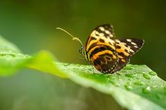 在绿色叶子的美丽的蝴蝶在waterdrops之间 免版税库存照片