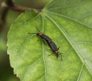 在绿色叶子的联接的Lovebugs 库存照片