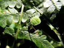 在绿色叶子的臭虫  库存照片