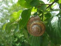 在绿色叶子的葡萄蜗牛 库存图片