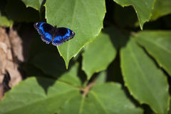 在绿色叶子的蓝色蝴蝶 免版税图库摄影