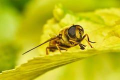在黄色叶子的蜂 免版税库存照片