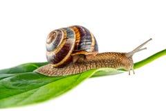 在绿色叶子的蜗牛 免版税图库摄影