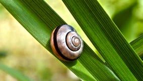 在绿色叶子的蜗牛 库存图片