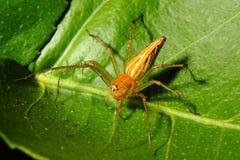 在绿色叶子的蜘蛛 免版税库存图片