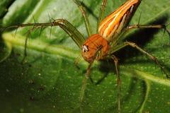 在绿色叶子的蜘蛛 免版税图库摄影