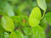 在绿色叶子的蜘蛛 库存图片
