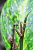 在绿色叶子的螳螂 库存照片