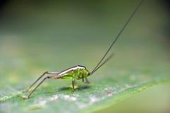 在绿色叶子的蟋蟀 库存图片