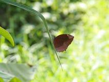 在绿色叶子的野生小黑褐色蝴蝶飞蛾 免版税库存照片