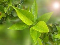 在绿色叶子的雨下落 库存照片