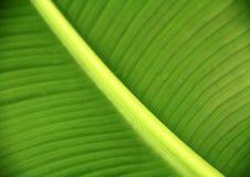 在绿色叶子的静脉 免版税库存照片