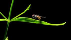在绿色叶子的飞行昆虫 库存照片
