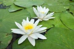 在绿色叶子的水百合在池塘 图库摄影