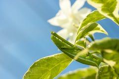 在绿色叶子的绿色毛虫 免版税库存图片