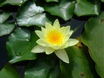在绿色叶子的黄色荷花 库存照片