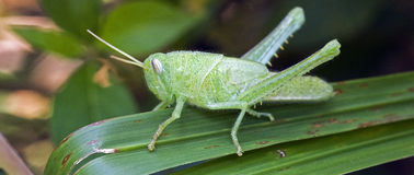 在绿色叶子的绿色蚂蚱 免版税库存图片