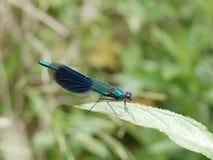 在绿色叶子的蜻蜓本质上 图库摄影