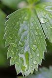 水滴在绿色叶子的 免版税图库摄影