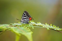 在绿色叶子的Spindasis syamaClub bufferfly Silverline 免版税库存照片