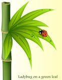 在绿色叶子竹子的瓢虫 免版税图库摄影