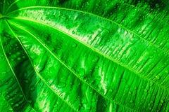 在绿色叶子纹理的雨下落 新自然,抽象backgrou 图库摄影