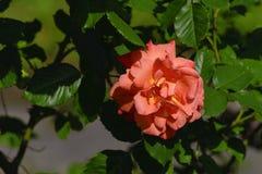 在绿色叶子背景的一朵晴天桃红色玫瑰花 图库摄影