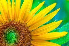 在绿色叶子背景的向日葵 库存图片