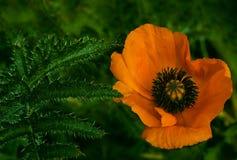 在绿色叶子背景的橙色鸦片花 美丽的鸦片在绿草开花 软绵绵地集中 特写镜头 库存图片