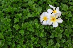 在绿色叶子背景的白色赤素馨花花 免版税库存图片
