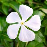 在绿色叶子背景的白花 图库摄影
