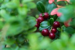在绿色叶子背景的红色莓果  库存照片