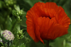 在绿色叶子背景的红色鸦片花 美丽的鸦片在绿草开花 软绵绵地集中 特写镜头 库存照片