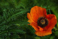 在绿色叶子背景的红色鸦片花 美丽的鸦片在绿草开花 软绵绵地集中 特写镜头 免版税库存图片