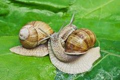 在绿色叶子背景的联接的比赛蜗牛  库存图片