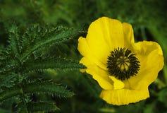 在绿色叶子背景的黄色鸦片花 美丽的鸦片在绿草开花 软绵绵地集中 特写镜头 免版税库存照片