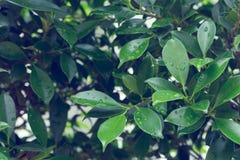水在绿色叶子自然的露滴 免版税库存照片