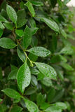 水在绿色叶子自然的露滴 图库摄影