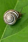在绿色叶子螺旋形式的蜗牛 免版税图库摄影