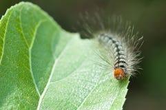 在绿色叶子,宏指令的一条毛虫 免版税库存照片