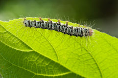 在绿色叶子,宏指令的一条毛虫 库存照片
