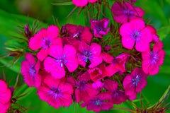 在绿色叶子,瓣的明亮的桃红色花用白色小点装饰 库存照片